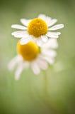 开花的春黄菊 库存图片