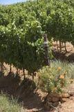 开花的普罗梯亚木花在葡萄园里 南部非洲 免版税图库摄影