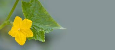 开花的有机黄瓜分支特写镜头 与绿色叶子选择聚焦,灰色背景的美丽的黄色花 免版税图库摄影