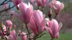 开花的木兰在公园 股票录像