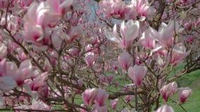 开花的木兰在公园 影视素材