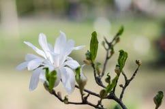 开花的木兰在启发和礼物的春天 免版税库存照片