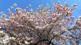开花的木兰树木兰 股票录像