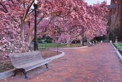 开花的木兰树桃红色庭院  免版税图库摄影