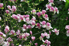 开花的木兰灌木 免版税库存图片