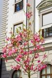 开花的木兰结构树 免版税库存图片