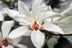 开花的木兰花 免版税库存照片