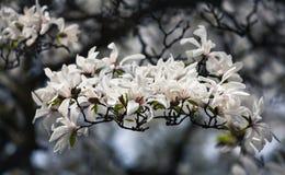 开花的木兰花 图库摄影