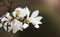 开花的木兰花 库存照片