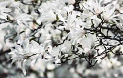 开花的木兰花 库存图片