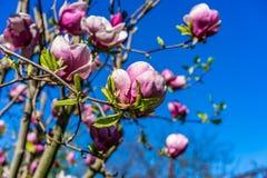 开花的木兰花 免版税图库摄影