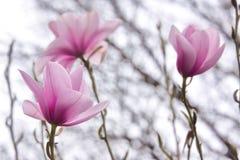 开花的木兰,维多利亚, BC,加拿大 免版税库存照片