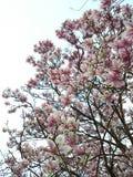 开花的木兰结构树 库存照片