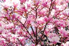 开花的木兰 免版税库存照片