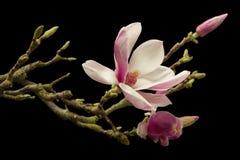 开花的木兰 免版税图库摄影