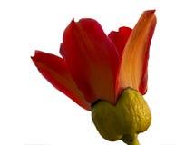 开花的木棉树木棉树或红色丝光木棉花分支  图库摄影