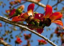 开花的木棉树木棉树或红色丝光木棉花分支  免版税图库摄影
