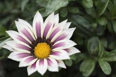 开花的杂色菊属植物 免版税库存照片