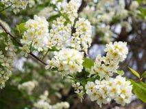 开花的李属padus稠李,朴树果, hagberry或者无线电呼救信号树 免版税库存照片