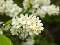 开花的李属padus稠李,朴树果, hagberry或者无线电呼救信号树 免版税库存图片
