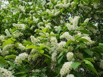 开花的李属padus稠李,朴树果, hagberry或者无线电呼救信号树 免版税图库摄影