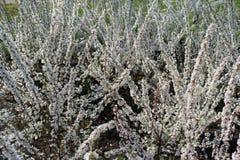 开花的李属tomentosa灌木在春天 免版税图库摄影