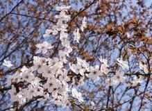 开花的杏子分支  图库摄影