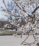 开花的杏子分支  免版税库存照片