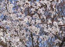 开花的杏子分支  免版税库存图片