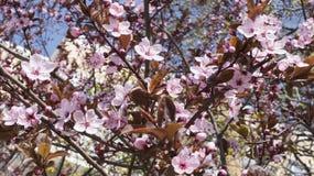 开花的杏子分支  库存图片