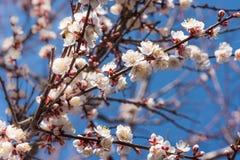 开花的杏子在一个晴天 库存照片