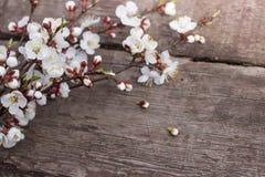开花的杏子小树枝在一张木纹理桌上说谎 库存照片