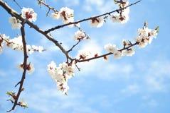 开花的杏子,蓝天,春天 库存照片