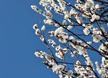 开花的杏树特写镜头  免版税库存照片