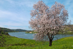 开花的杏仁果树园 免版税库存照片
