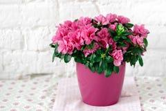 开花的杜娟花在桃红色花盆白色土气背景中 库存图片