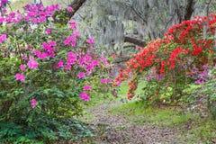开花的杜娟花庭院 库存照片