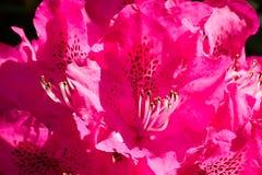 开花的杜鹃花在春天公园 免版税库存照片