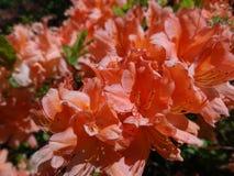 开花的杜鹃花在芬兰语的公园 库存照片