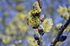 开花的杨柳和蜂 库存图片
