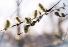 开花的杨柳在春天 唤醒狂放的自然 免版税库存图片