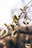 开花的杨柳芽 唤醒自然在春天 库存图片