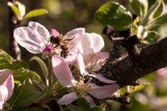 开花的果子春天结构树 免版税库存照片