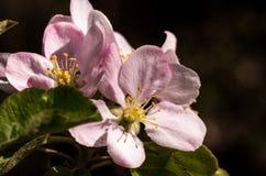 开花的果子春天结构树 免版税图库摄影