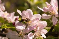 开花的果子春天结构树 免版税库存图片