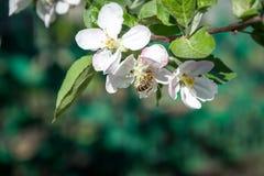 开花的果树园和蜂蜜蜂 库存图片