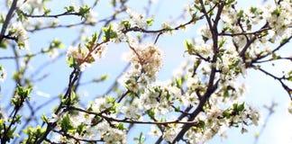 开花的果树园在春天 在蓝天背景的开花的李子果树园树 背景蒲公英充分的草甸春天黄色 dof果树园照片乌贼属浅春天口气 库存图片