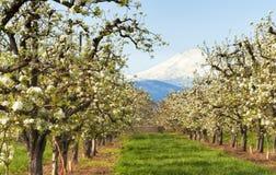 开花的果树园框架Mt 敞篷 免版税库存图片