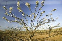开花的果树园 库存图片