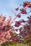 开花的果树园 免版税库存图片